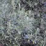 Просто оливки, просто растут на набережной