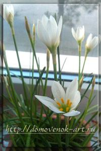 цветущие комнатные растения - зефирантес