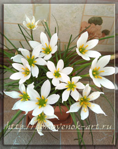 зефирантес или выскочка цветок