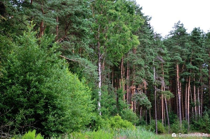 Сосновый лес. Россия