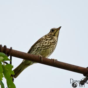 Певчий дрозд. Фото наблюдения птичьей жизни